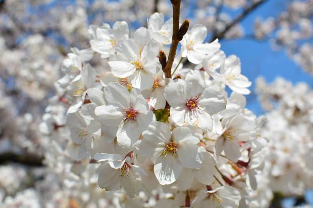 日比谷公園の桜.jpg